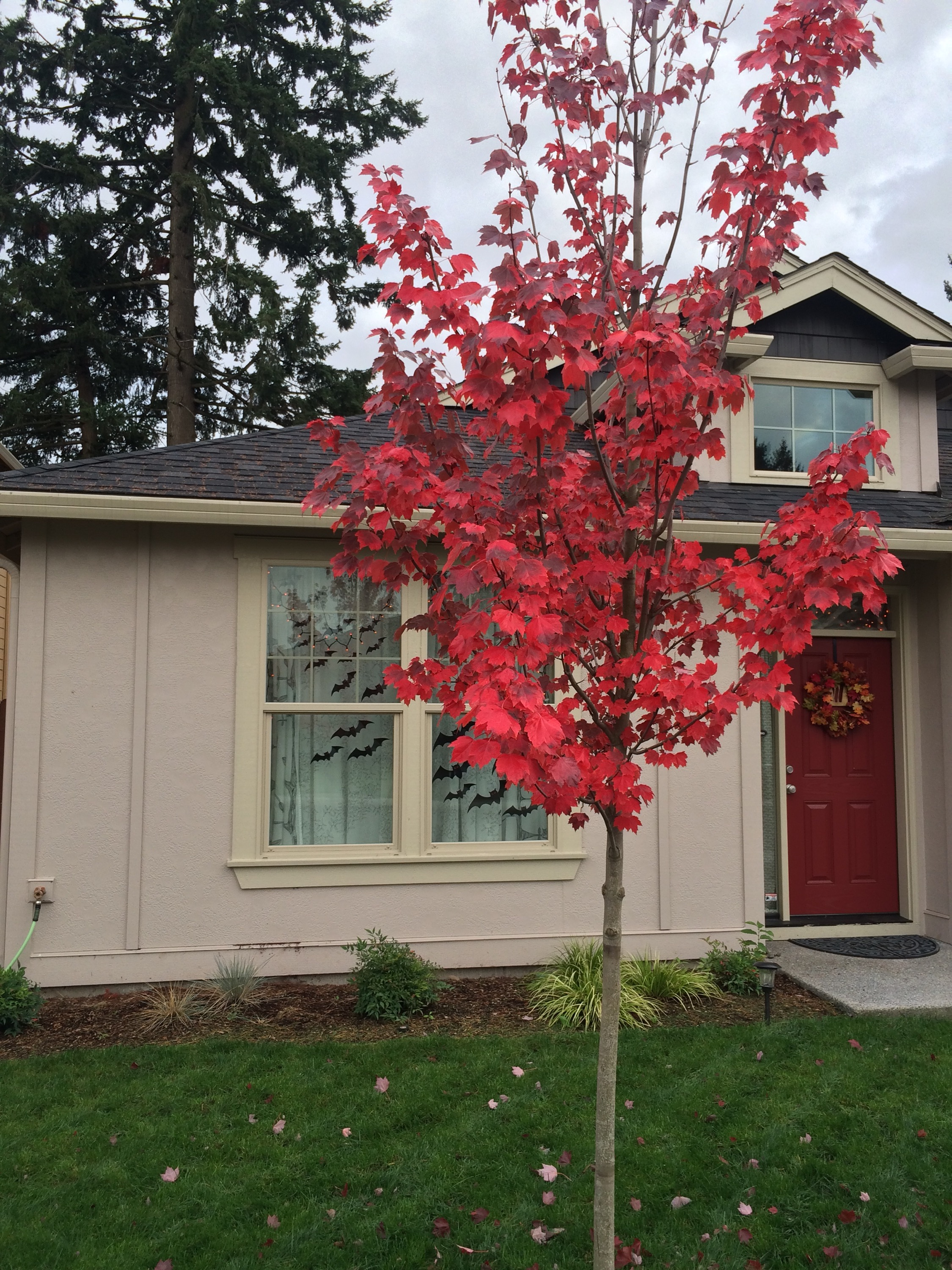 A rougly 10 foot tall maple sapling has turned bright red and started to lose its leaves. It stands in the front yard in front of a light tan house with a red door. Halloween bat decorations silhouette the front window.
