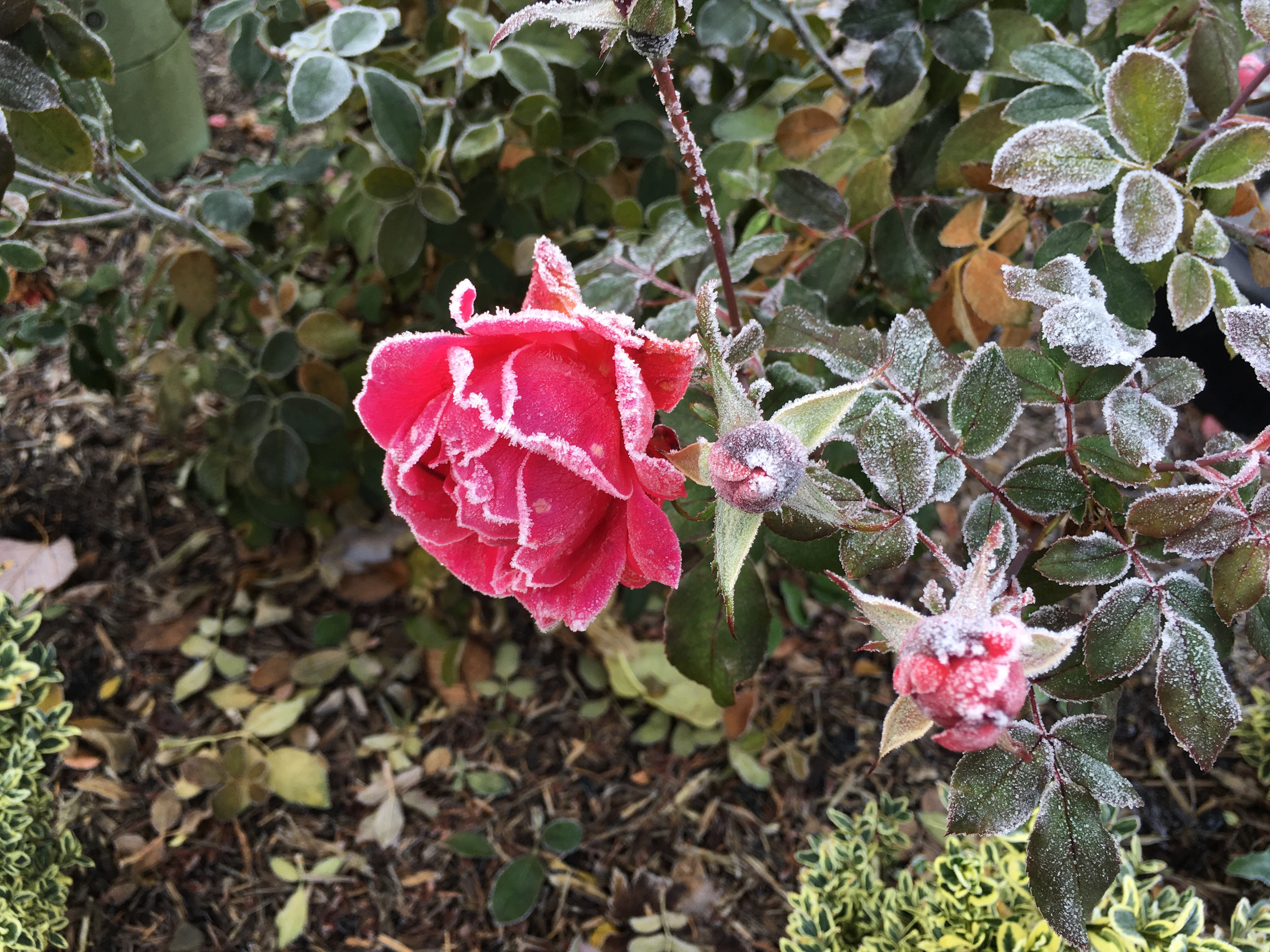A neighbor's rosebush, with a few flowers left, pinkish-red and edged with frost.